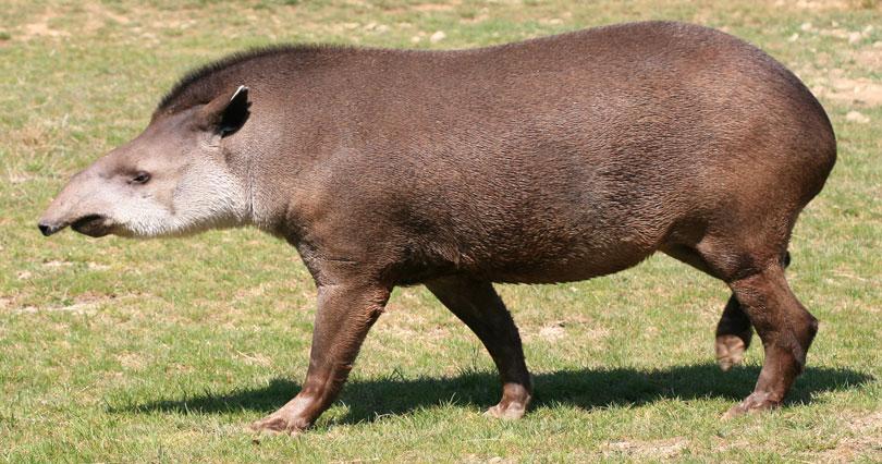 Animais em extinção: Anta