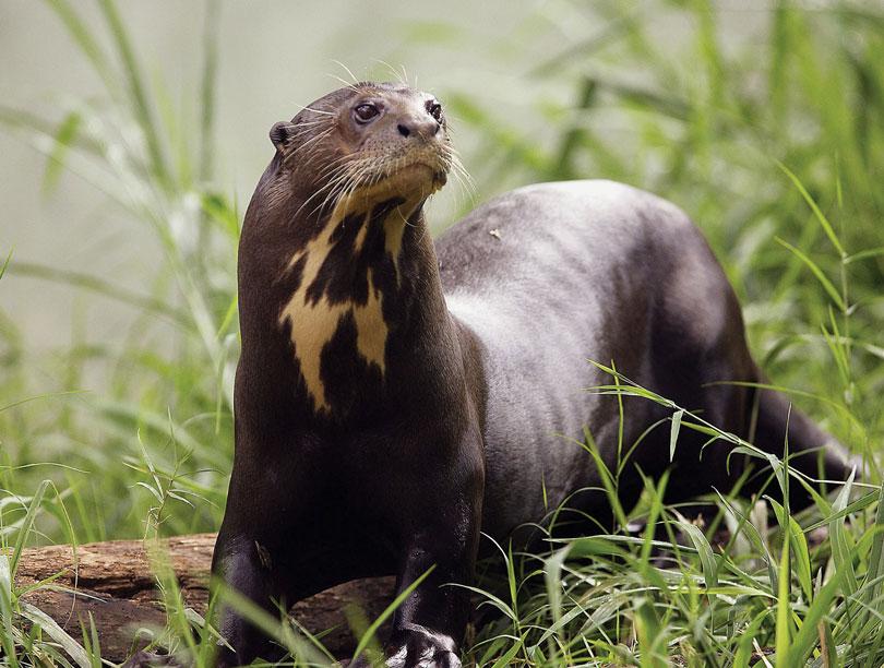 Animais em extinção: Ariranha