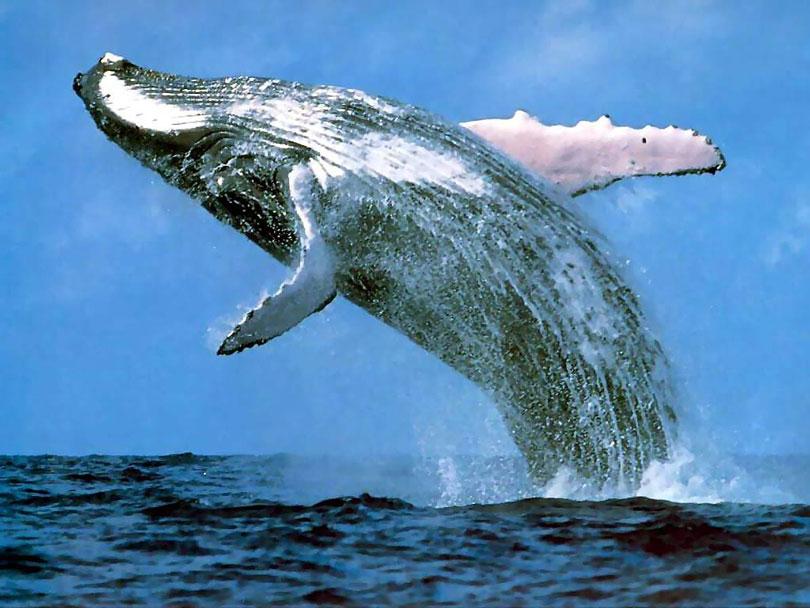 animais-em-extincao-baleia-azul