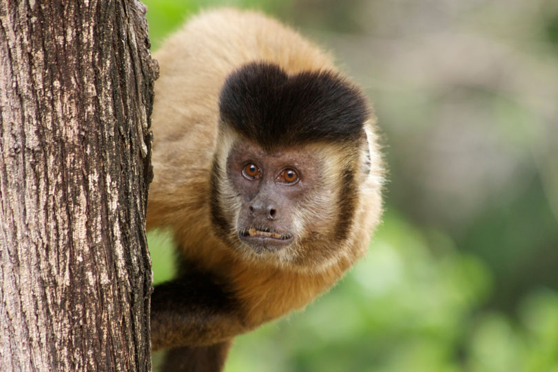 Animais em extinção: Macaco Prego