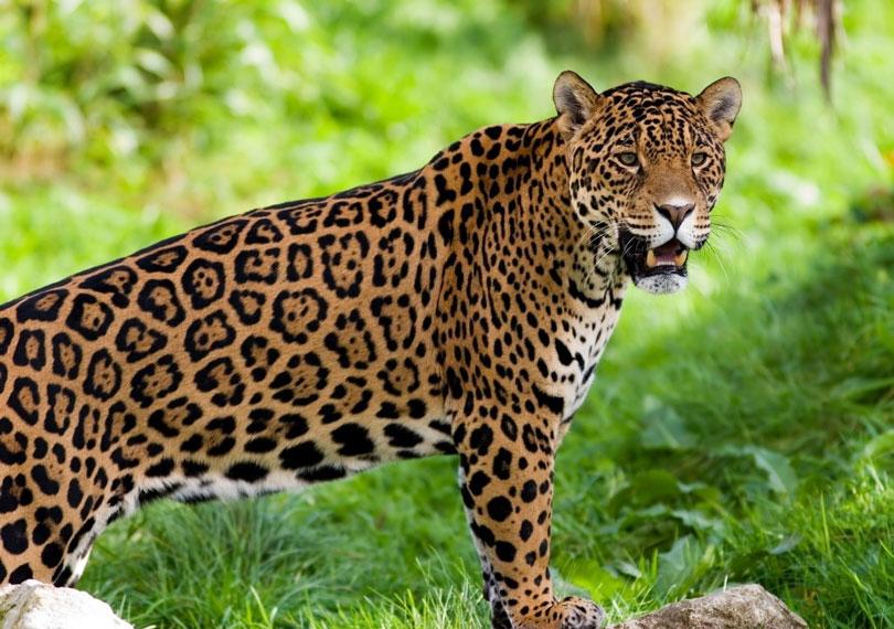 Animais em extinção: Onça pintada