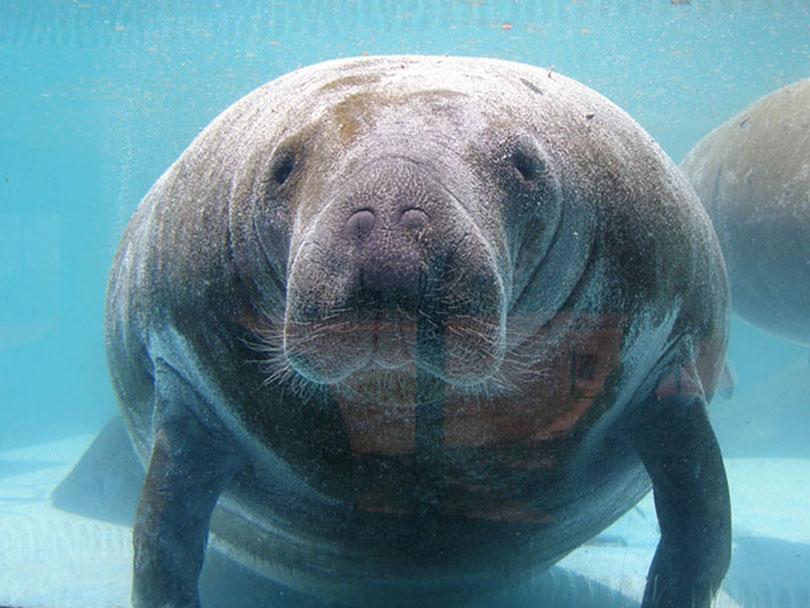 animais-em-extincao-peixe-boi-marinho