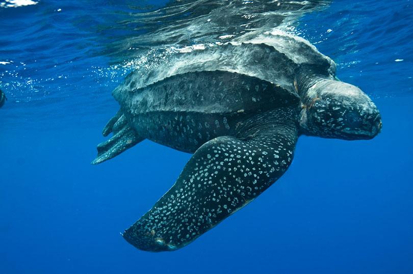Animais em extinção: Tartaruga de Couro