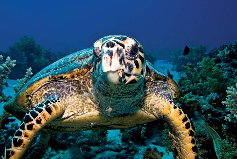 Animais em extinção: Tartaruga-de-Pente