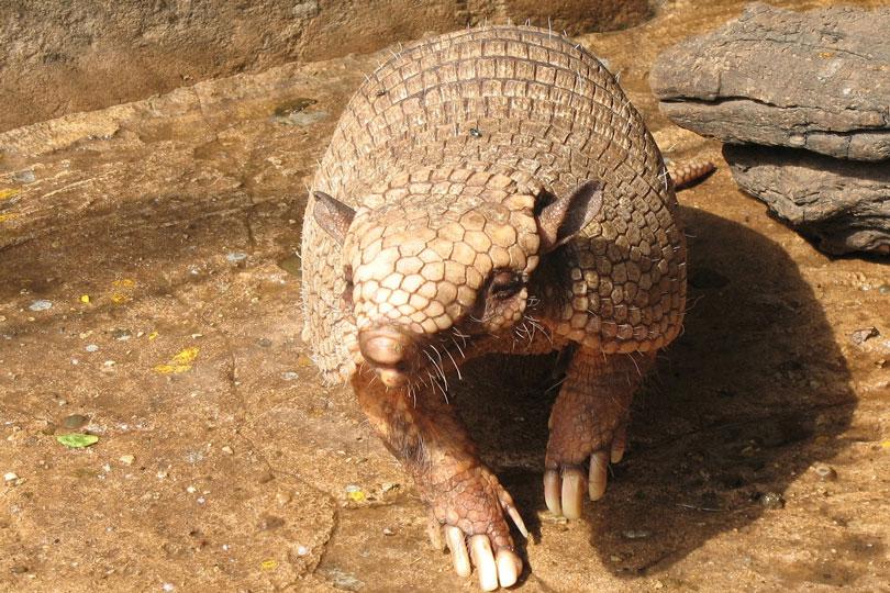 Animais em extinção: Tatu Bola