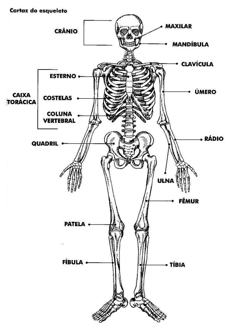 Ossos do corpo humano entenda o sistema esquel tico for O osso esterno e dividido em