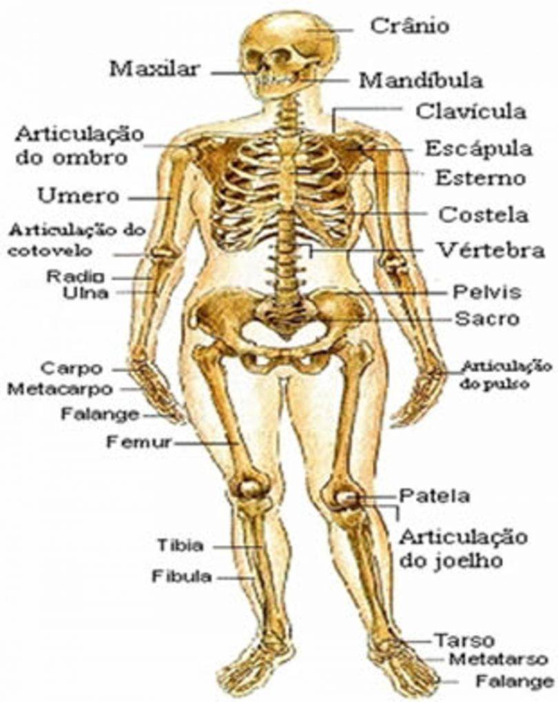 sistema-esqueletico