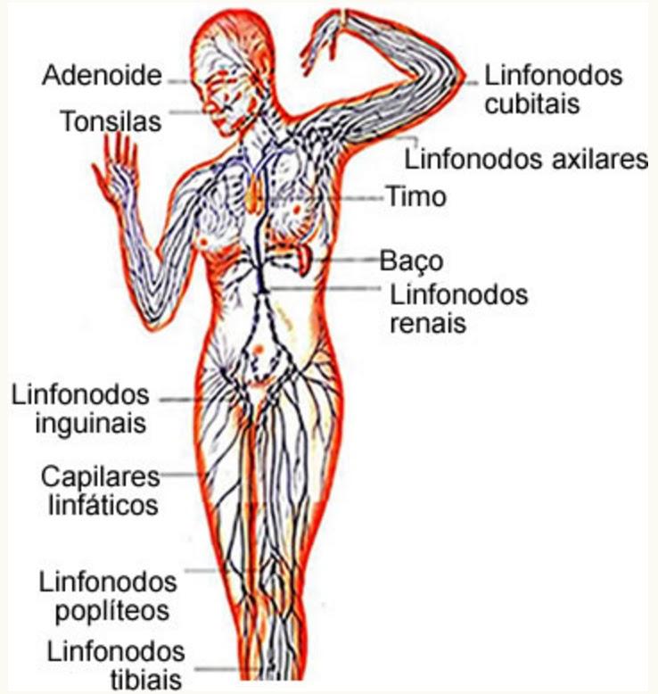 sistema-linfatico