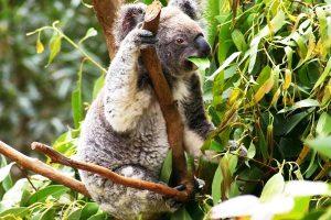 hebivoro-coala-se-alimentando