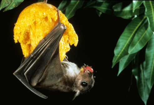 morcegos-alimentacao