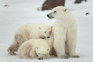 Animais vertebrados: Urso-polar