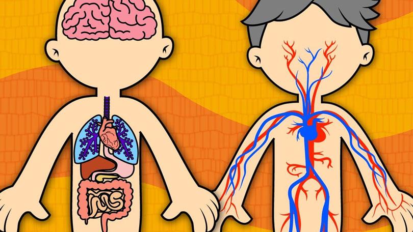 Sistemas do corpo humano: Principais funções - Voupassar.club