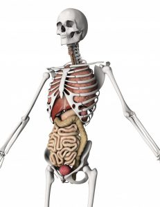 the-human-body-bones-and-organs_1048-4904