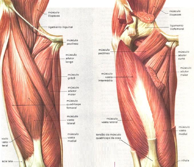Conheça os músculos da coxa - VouPassar 8c9b408a62